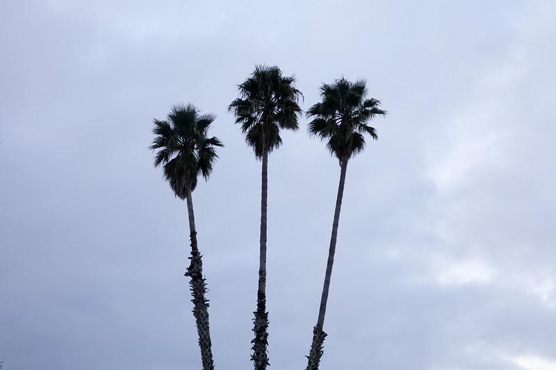 Palm trees in Santa Cruz