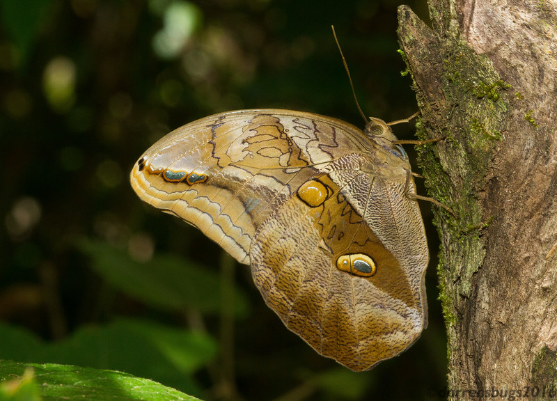 Owl butterfly, possibly Eryphanis lycomedon, from Monteverde, Costa Rica.