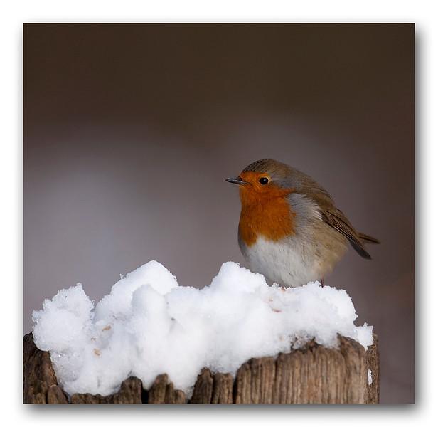 Robin snow-1.jpg