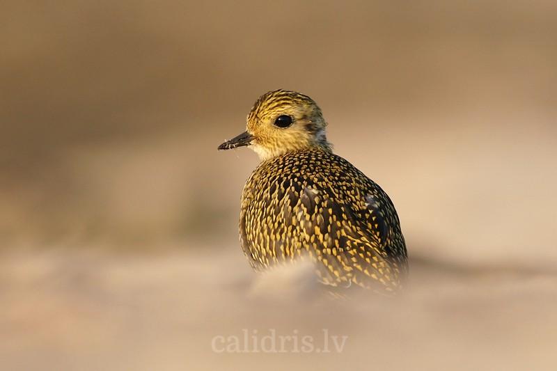 Golden Plover (juv.) on a beach