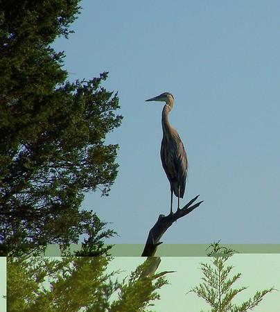 2005-08-22 blue heron