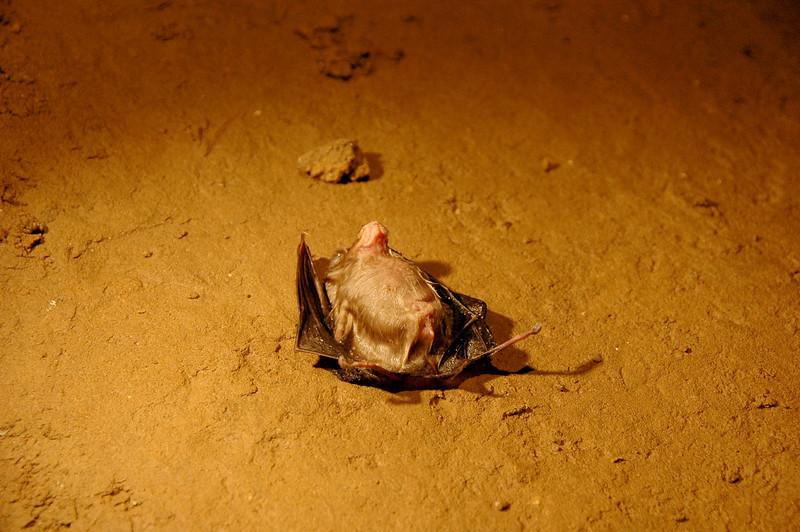 Bat isolated in Kriszna Jama