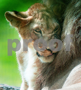 the-lion-pride-caldwell-zoo-cubs-are-developing-distinct-personalities