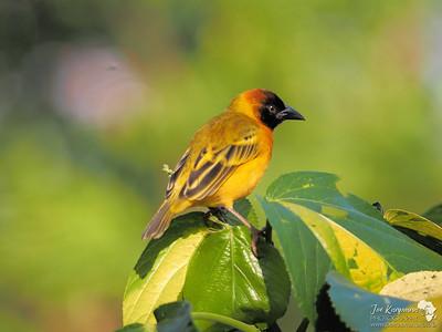 Lesser Masker Weaverbird