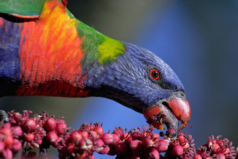Rainbow Lorikeet MASTER.jpg