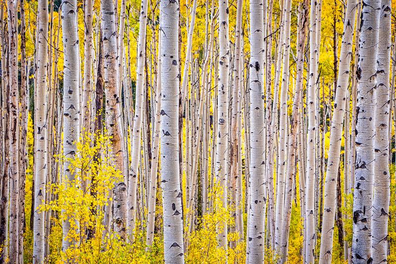Poignet Aspens, Colorado