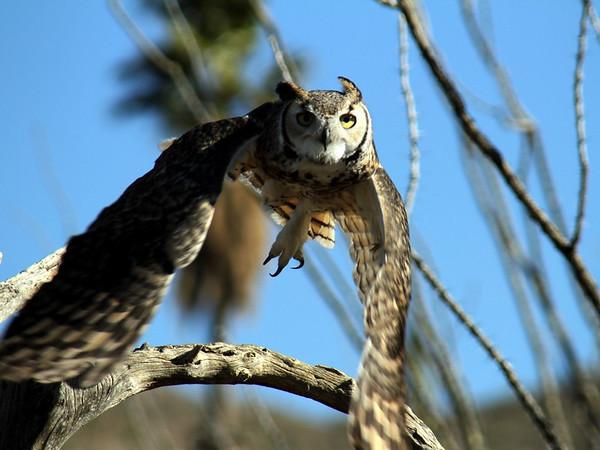 Sonora Desert Raptors