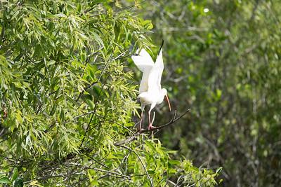03_Everglades - White Ibis