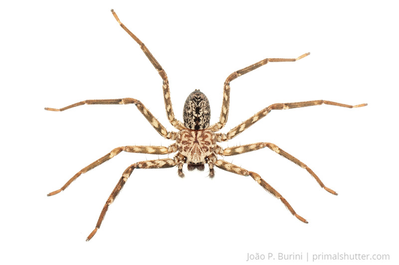 Huntsman spider (Selenops species) Piedade, SP, Brazil Tropical rainforest May 2012