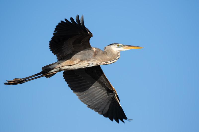 Great Blue Heron In Flight-4980.jpg