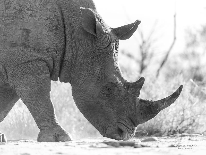 White Rhino, b&w, South Africa, May 2017-2.jpg