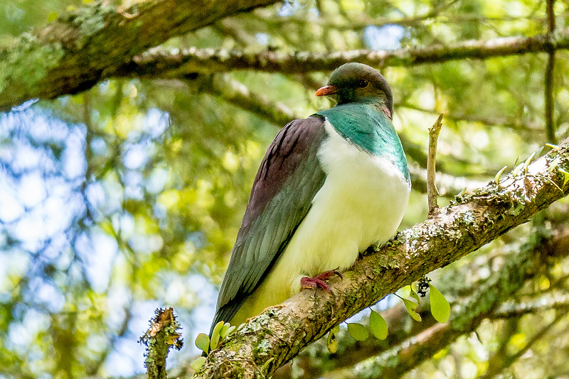 New Zealand Pigeon (Neuseeland-Fruchttaube)