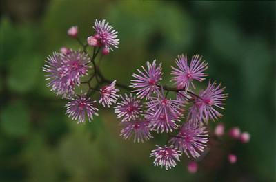 Thalictrum actaeifolia.jpg