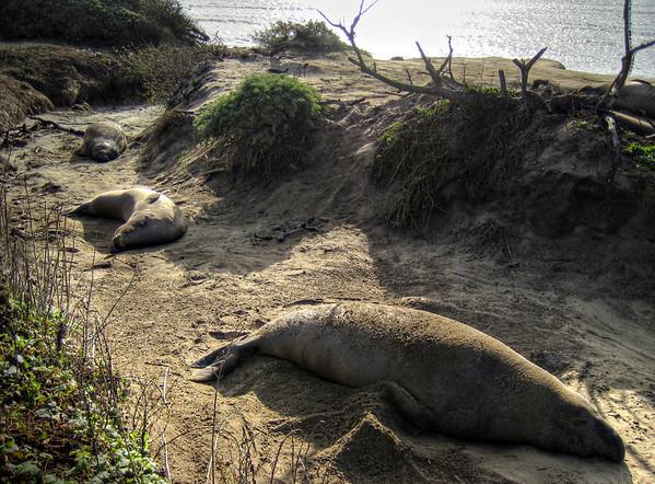 Ano Nuevo Elephant Seal Walk