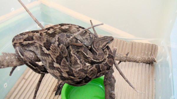 Tropidodryas striaticeps