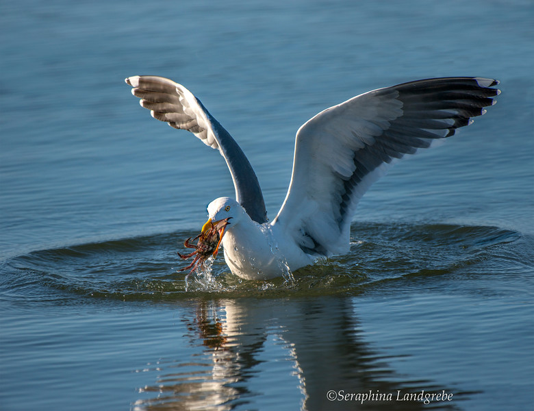 _DSC2849Gull catching Crab.jpg
