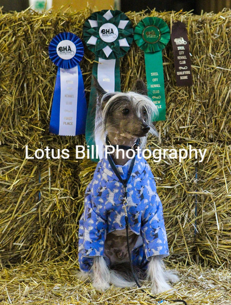 Chinese Crested (19 of 30).jpg