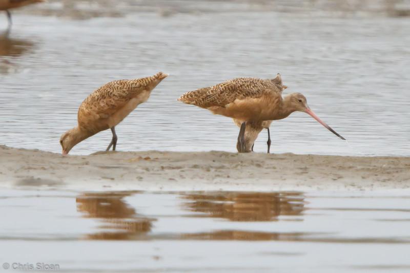 Marbled Godwits at Bodega Bay, CA (10-15-2011) - 624.jpg