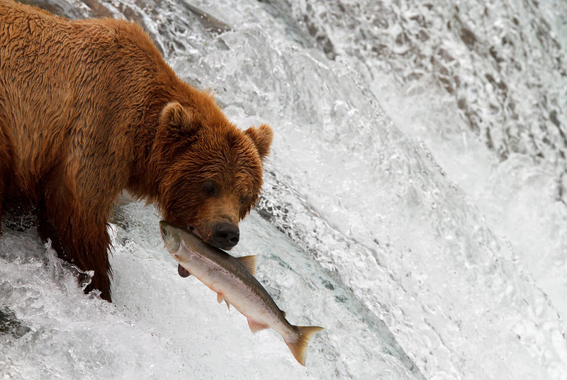A brown bears catches a salmon at the brink of Brooks Falls