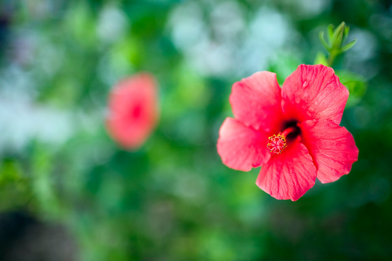 Red hibiscus, Seville, Spain