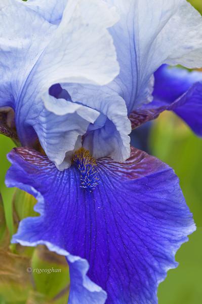 Bearded Iris Shadow Magic