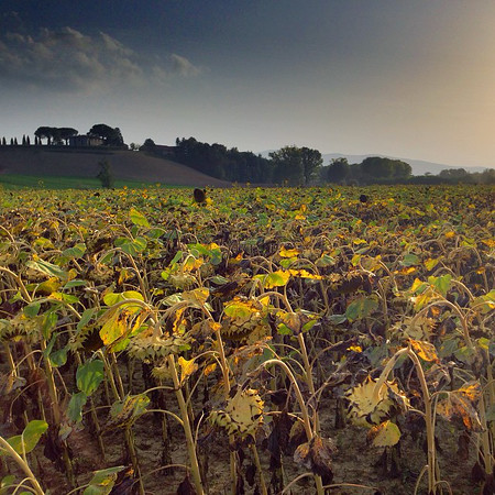 Dead sunflowers in Tuscany