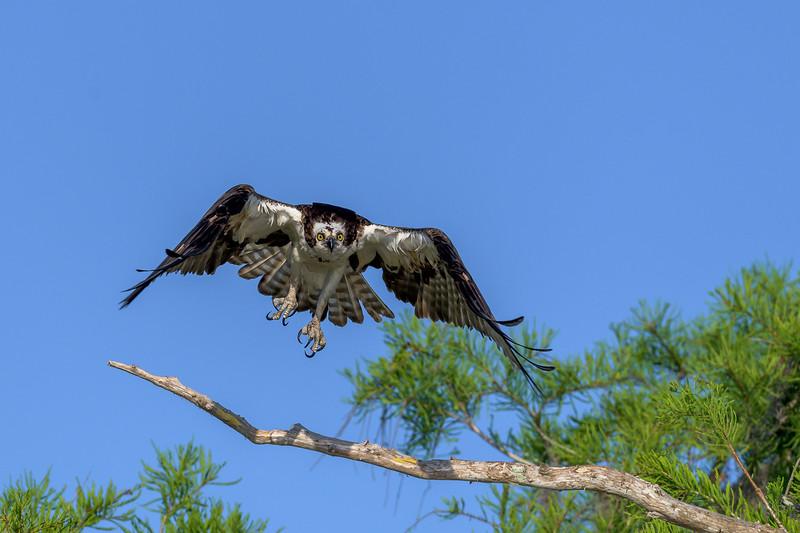 2021_KSMetz_Florida_Osprey Trip_April08 and 09_NIKON D850_6523.jpg