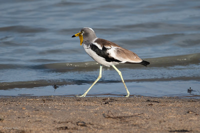 Lapwing, White-headed