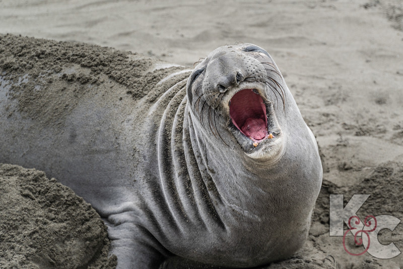 Elephant Seal, young male
