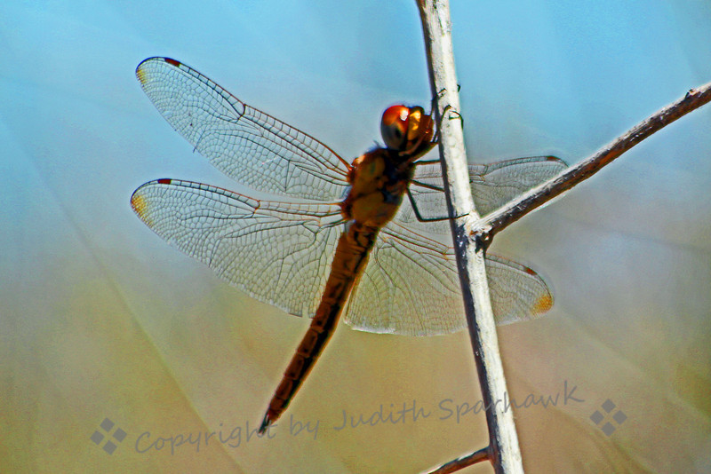 Dragonfly ~ This dragonfly was flitting around the Sweetwater Wetlands in Tucson, Arizona.