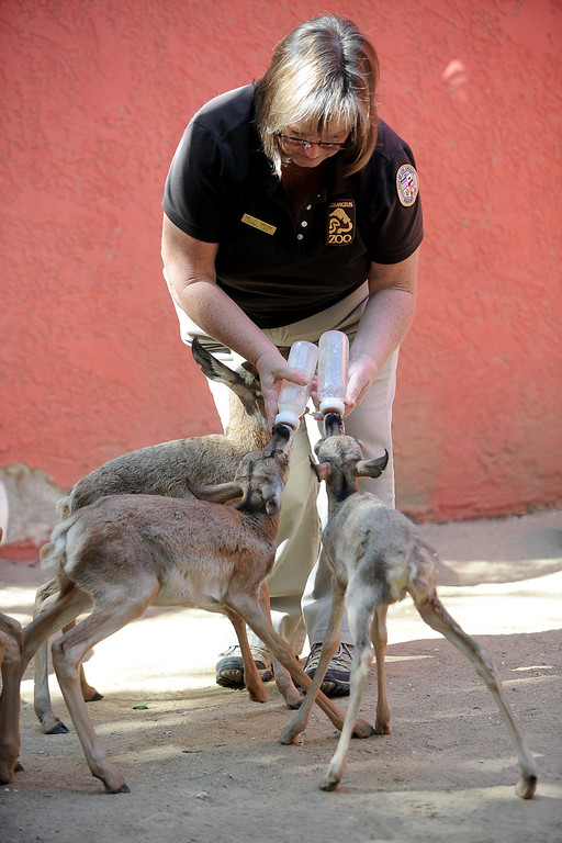 . Senior Animal Keeper Kelley Greene feeds baby Penisular pronghorns at the Los Angeles Zoo Thursday, April 18. 2013.  Five new pronghorn babies were born between April 3-9, 2013.  The animals, who are native to Baja Mexico, are a critically endagered species.(Andy Holzman/Daily News Staff Photographer)(Andy Holzman/Staff Photographer)