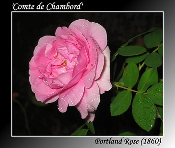 'Comte de Chambord'