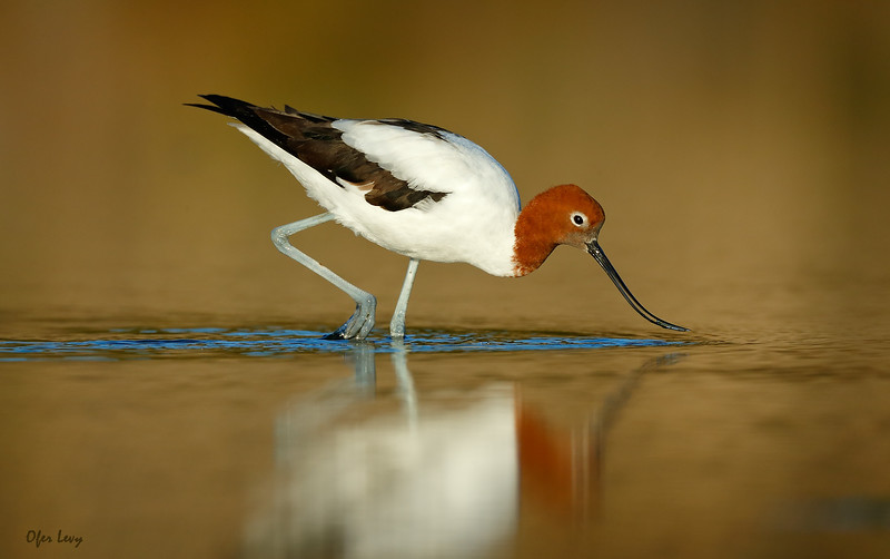 Red-necked Avocet sunset MASTER.jpg