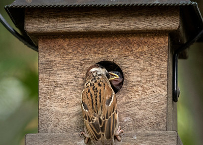 Eurasian Tree Sparrow Babies 2015