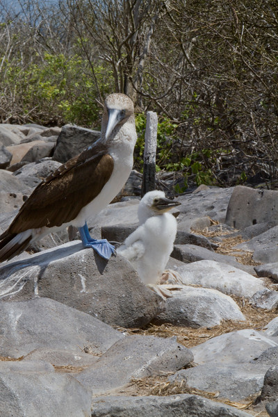 Blue Footed Boobie w Chick 2.jpg
