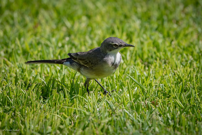 Wagtail, Cape (spp. capensis)