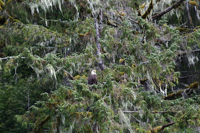 Bald Eagle in Lichen tTee
