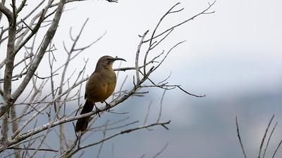 Escondido Birding 2/17/2018