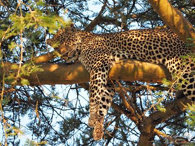 Leopard resting in the sun