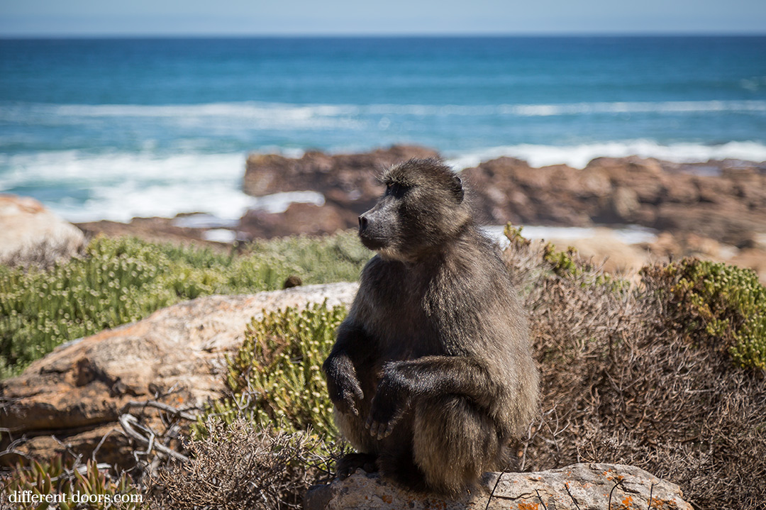 Baboon, Cape Town, Africa, Cape of Good Hope