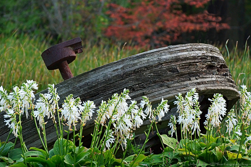 September 6th, 2007 A old wheel barrel use 100 years ago to carry crude oil. Nature finally took over! Cheers -JY