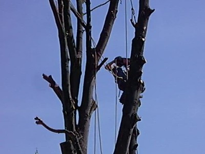 Tree removal 2011