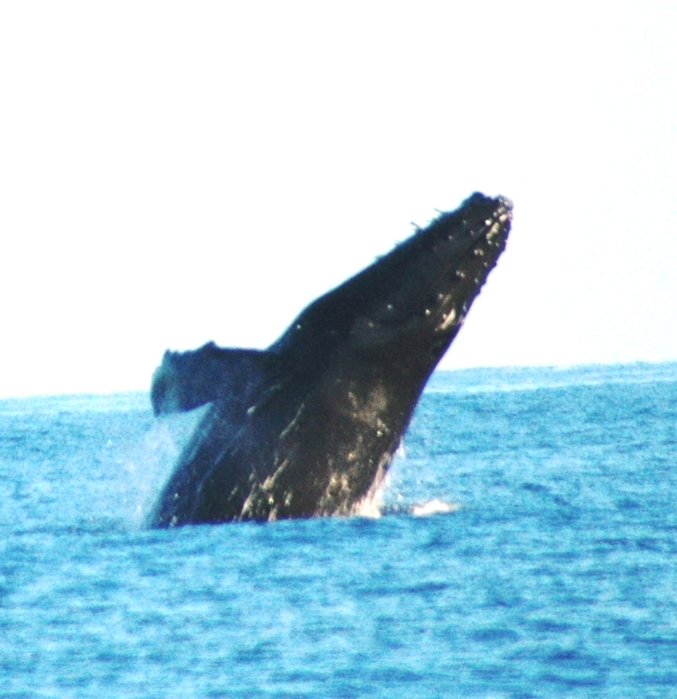whale beginning to breach.JPG