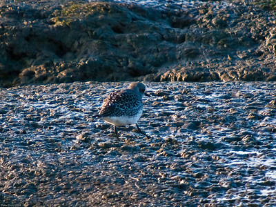 Plovers, Dotterels and Lapwing (Charadriidae)