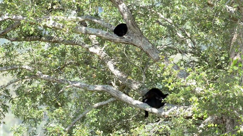 black_bear_cub_tree_04.mov