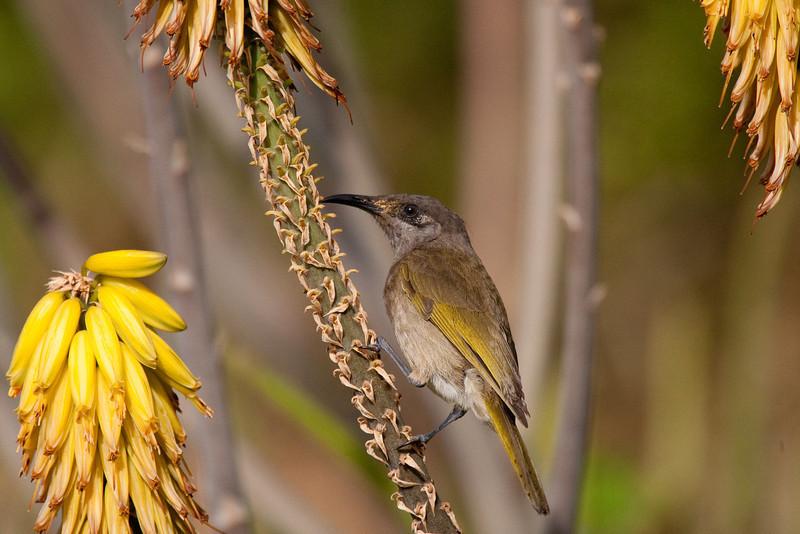 Oiseaux sur Aloe vera
