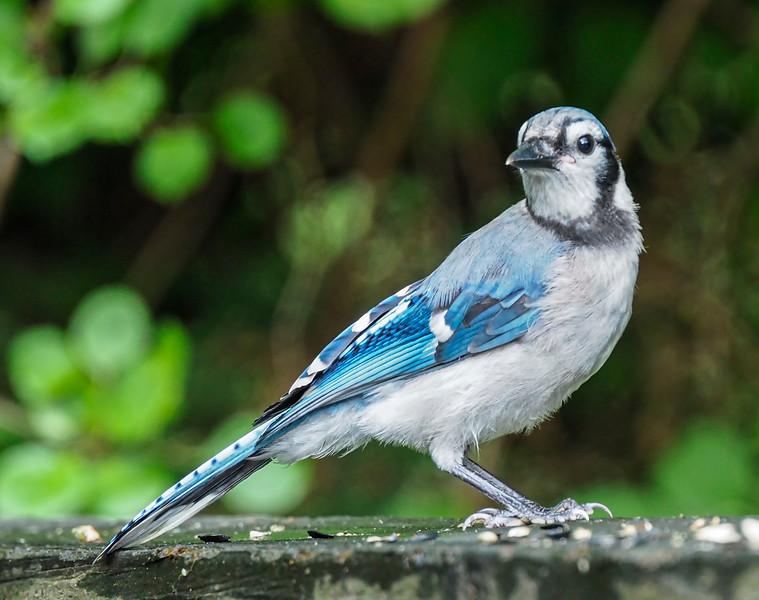 Cape Cod_Blue Jay-3.jpg