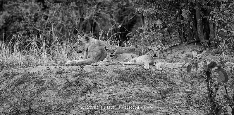 Bili_Lion-n-cubs_1256-blknwht-web.jpg