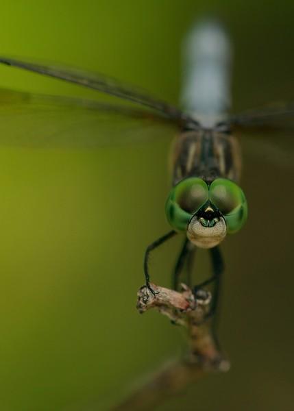 Summertime Dragonfly (2).jpg