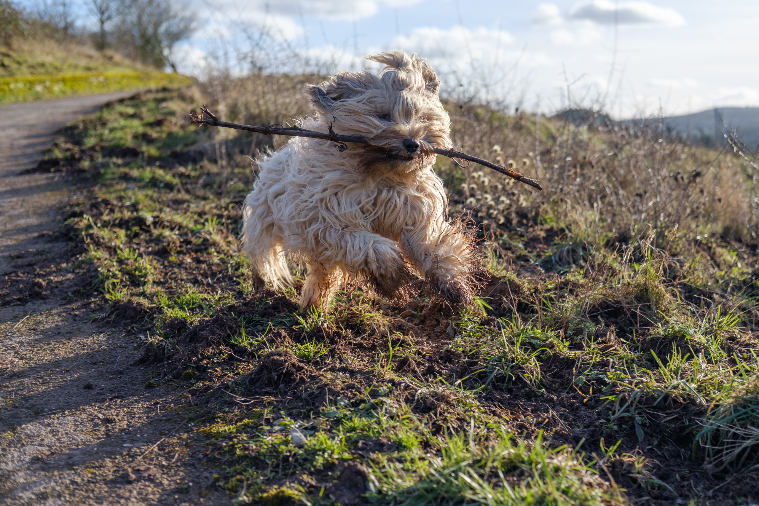 A Tibetan Terrier with a stick in its mouth running down a path